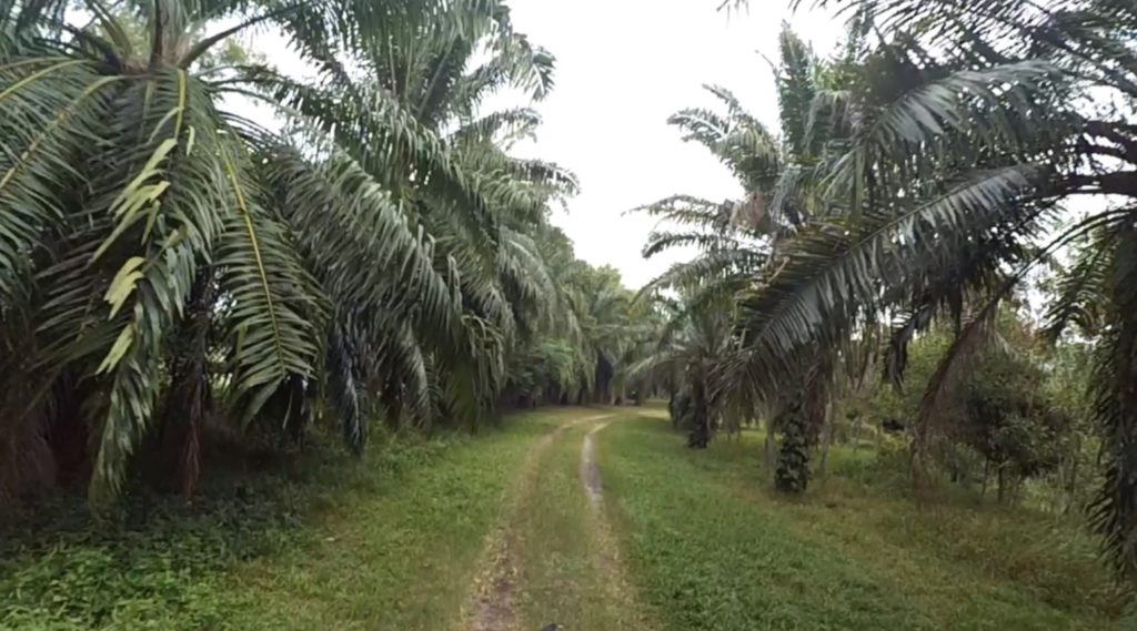 palm-oil-trees